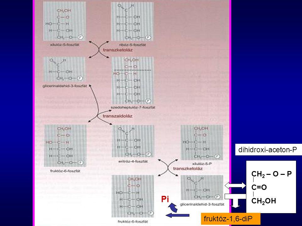 Pentóz-foszfát ciklus jelentősége H + -t szolgáltat a NADPH által Ribózt és más pentózszármazékot termel a nukleinsavak felépítéséhez Biztosítja a hexóz-pentóz átalakulást Energiát termel Nincs közös enzime a citrátkörrel, de közös az, hogy itt is termelődik CO 2 Felhasználja a szervezetben képződött cukor- foszfátot intermedierként