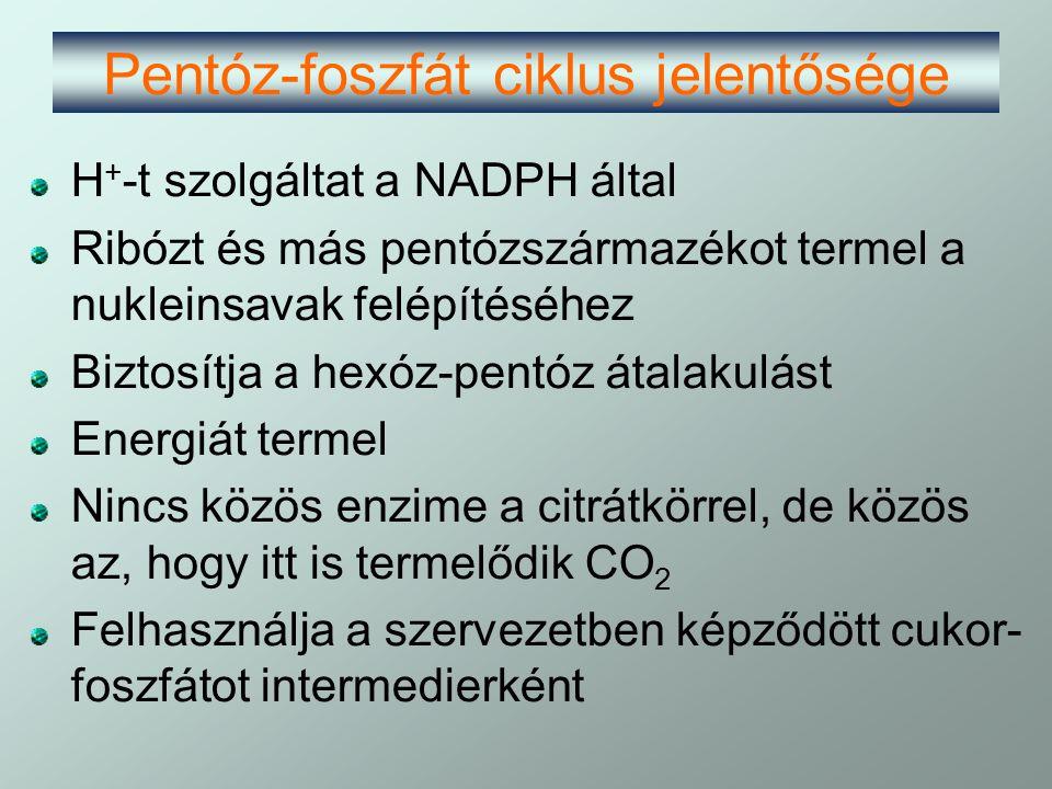 Pentóz-foszfát ciklus jelentősége H + -t szolgáltat a NADPH által Ribózt és más pentózszármazékot termel a nukleinsavak felépítéséhez Biztosítja a hex