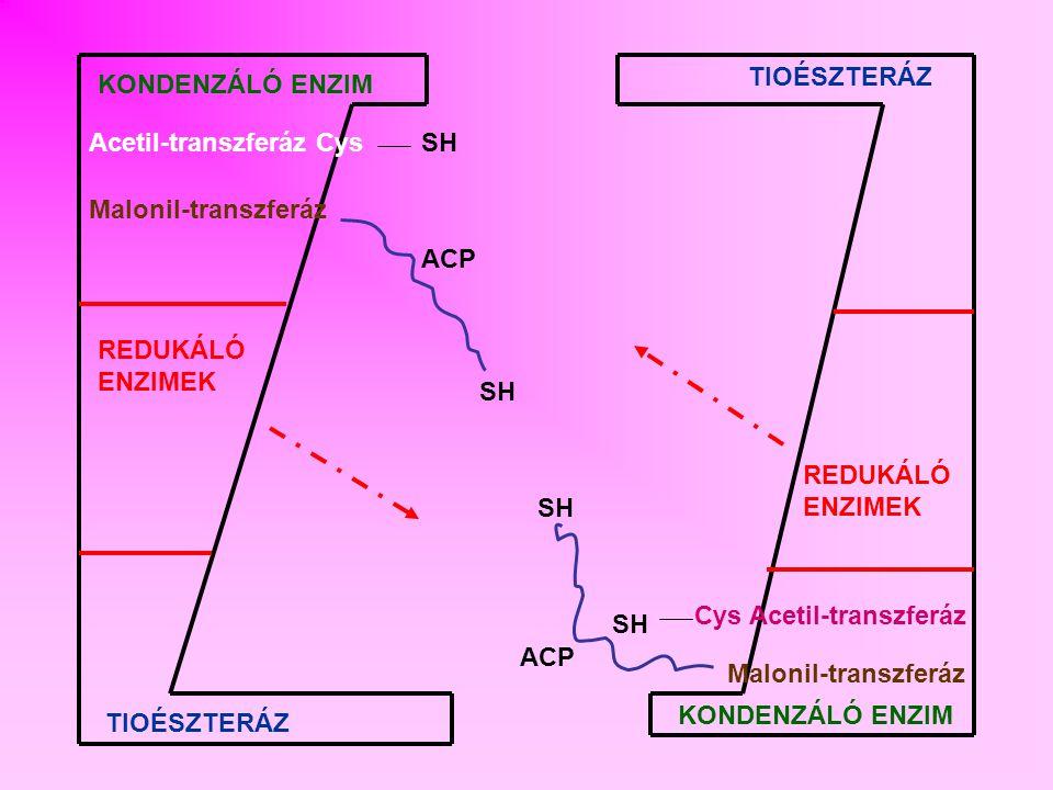 ENERGIAMÉRLEG Bruttó egyenlet: 8 Ac-CoA + 7 ATP+ 14 (NADPH+H + ) palmitinsav + 8 H-CoA + 7 (ADP+P i ) + 14 NADP + + 6 H 2 O