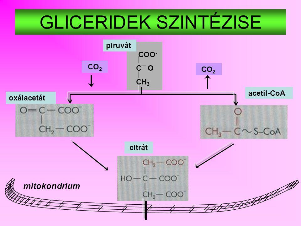 oxálacetát acetil-CoA CH 2 – OH CH – OH CH 2 – O – P ( TRI-, DI-) ACIL-GLICEROL glicerin-1-P foszfoenol-piruvát malonil-CoA GLÜKÖNEOGENEZIS ZSÍRSAVSZINTÉZIS