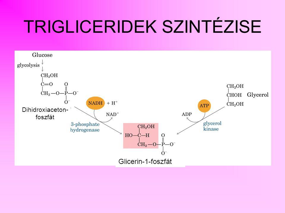 TRIACIL-GLICERIDEK SZINTÉZISE glicerin-1-foszfát triacil-glicerin diacil-glicerin foszfatidsav lizofoszfatidsav monoacil-glicerin acil-transzferáz foszfatidát-foszfatáz