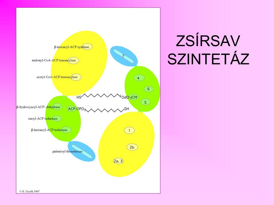 TIOÉSZTERÁZ REDUKÁLÓ ENZIMEK KONDENZÁLÓ ENZIM Acetil-transzferáz CysSH Malonil-transzferáz SH ACP TIOÉSZTERÁZ REDUKÁLÓ ENZIMEK KONDENZÁLÓ ENZIM Cys Acetil-transzferáz Malonil-transzferáz SH ACP