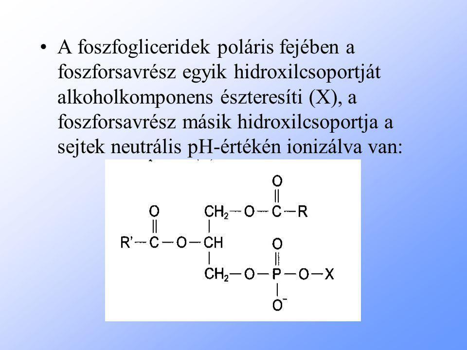 A foszfogliceridek poláris fejében a foszforsavrész egyik hidroxilcsoportját alkoholkomponens észteresíti (X), a foszforsavrész másik hidroxilcsoportja a sejtek neutrális pH-értékén ionizálva van: