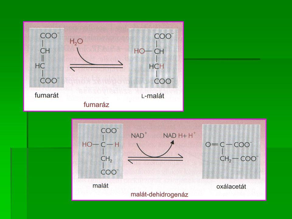 ENZIM EFFEKTOROK EFFEKTOROK aktivál gátol aktivál gátol Citrát-szintetáz ATP, NADH, szukcinil- CoA, hosszúláncú acil- CoA akonitáz Fe ++ akonitáz izocitrát-dehidrogenáz Mg ++, Mn ++ ATP, NADH α-ketoglutarát- dehidrogenáz szukcinil-CoA szukcinil-tiokináz szukcinát-dehidrogenáz Szukcinát, red.