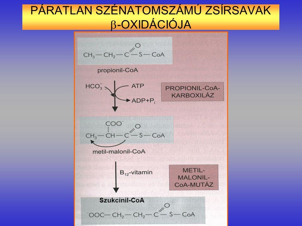 PÁRATLAN SZÉNATOMSZÁMÚ ZSÍRSAVAK  -OXIDÁCIÓJA Szukcinil-CoA