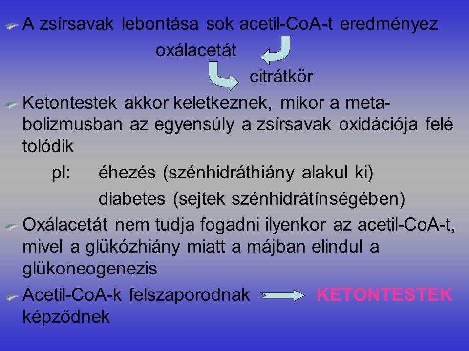 A zsírsavak lebontása sok acetil-CoA-t eredményez oxálacetát citrátkör Ketontestek akkor keletkeznek, mikor a meta- bolizmusban az egyensúly a zsírsavak oxidációja felé tolódik pl:éhezés (szénhidráthiány alakul ki) diabetes (sejtek szénhidrátínségében) Oxálacetát nem tudja fogadni ilyenkor az acetil-CoA-t, mivel a glükózhiány miatt a májban elindul a glükoneogenezis Acetil-CoA-k felszaporodnak KETONTESTEK képződnek