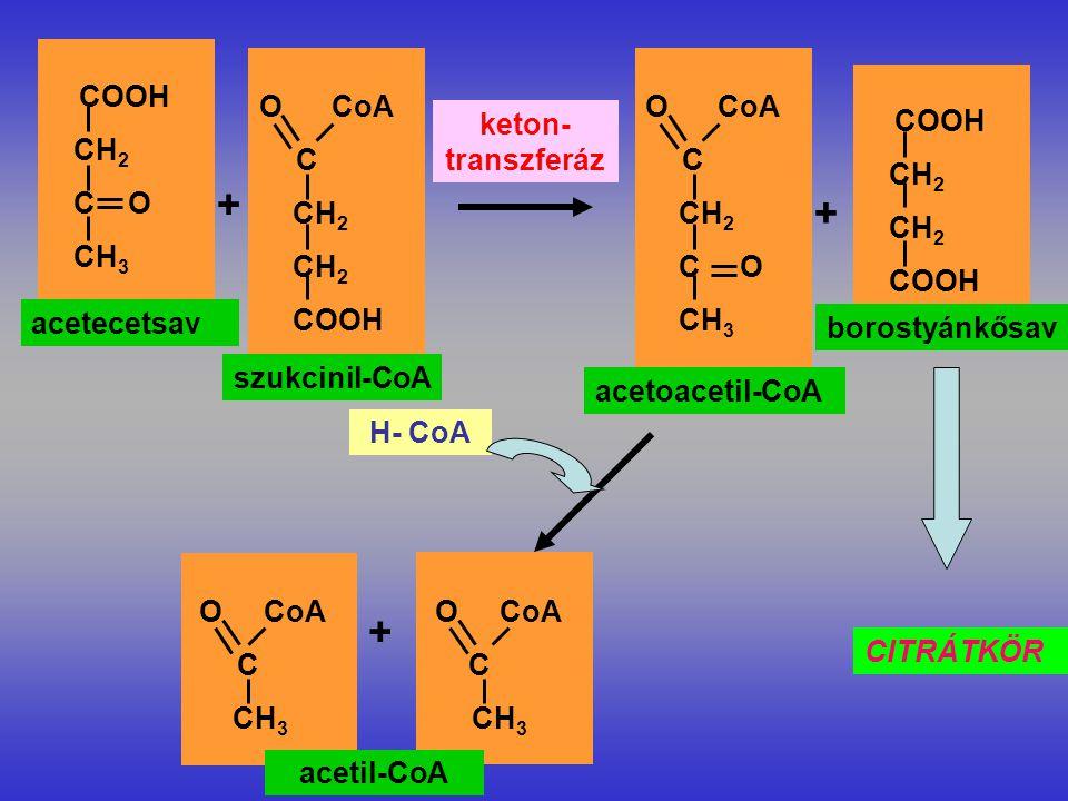 COOH CH 2 C O CH 3 acetecetsav O CoA C CH 2 COOH + szukcinil-CoA keton- transzferáz O CoA C CH 2 C O CH 3 acetoacetil-CoA COOH CH 2 COOH + borostyánkősav CITRÁTKÖR O CoA C CH 3 O CoA C CH 3 + acetil-CoA H- CoA