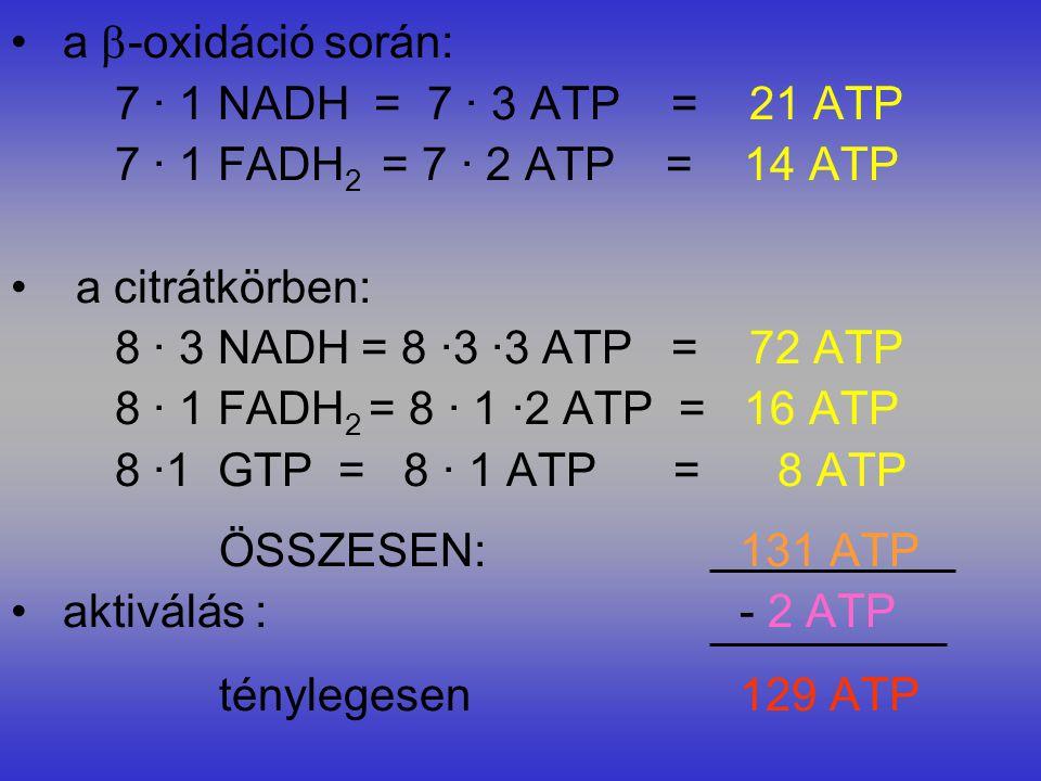 a  -oxidáció során: 7 · 1 NADH = 7 · 3 ATP = 21 ATP 7 · 1 FADH 2 = 7 · 2 ATP = 14 ATP a citrátkörben: 8 · 3 NADH = 8 ·3 ·3 ATP = 72 ATP 8 · 1 FADH 2 = 8 · 1 ·2 ATP = 16 ATP 8 ·1 GTP = 8 · 1 ATP = 8 ATP ÖSSZESEN:131 ATP aktiválás : - 2 ATP ténylegesen129 ATP