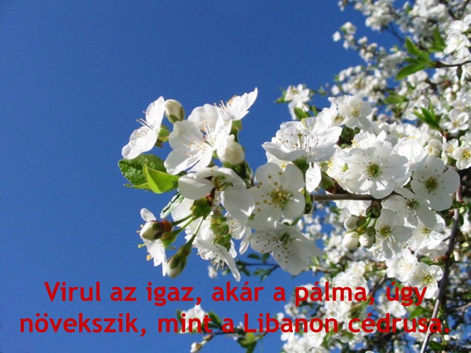 Virul az igaz, akár a pálma, úgy növekszik, mint a Libanon cédrusa.