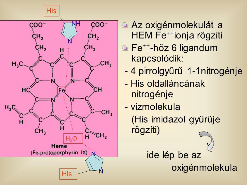 Az oxigénmolekulát a HEM Fe ++ ionja rögzíti Fe ++ -höz 6 ligandum kapcsolódik: - 4 pirrolgyűrű 1-1nitrogénje - His oldalláncának nitrogénje - vízmole