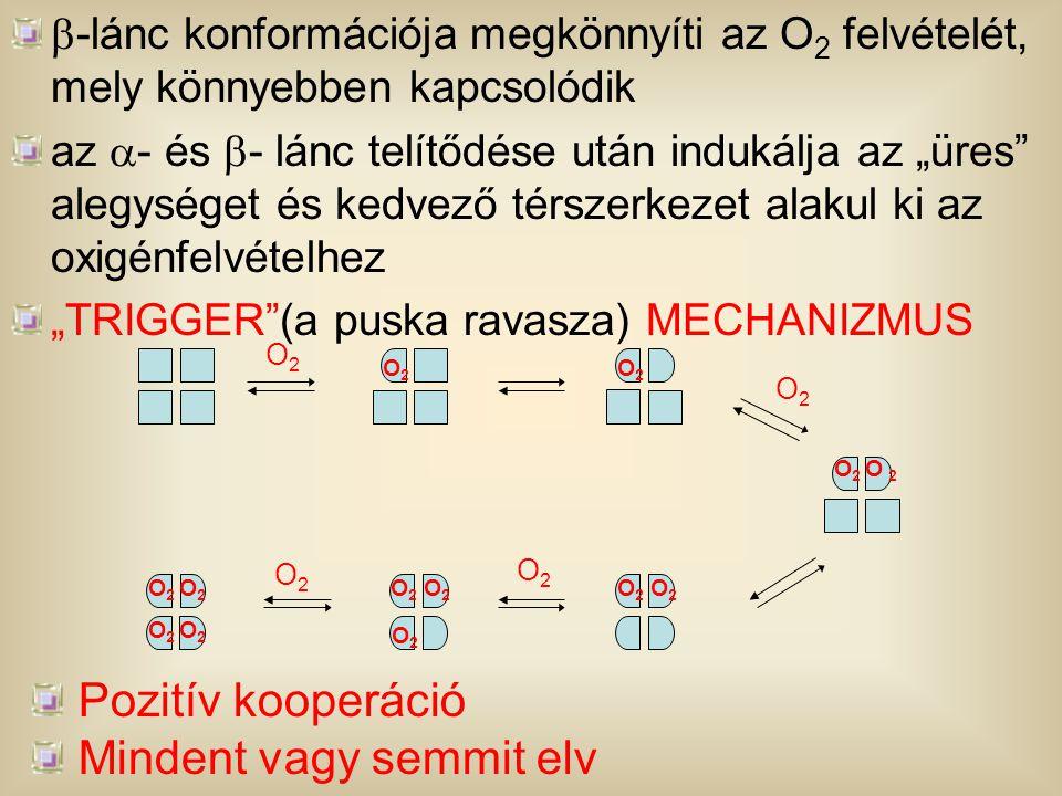 """ -lánc konformációja megkönnyíti az O 2 felvételét, mely könnyebben kapcsolódik az  - és  - lánc telítődése után indukálja az """"üres"""" alegységet és"""