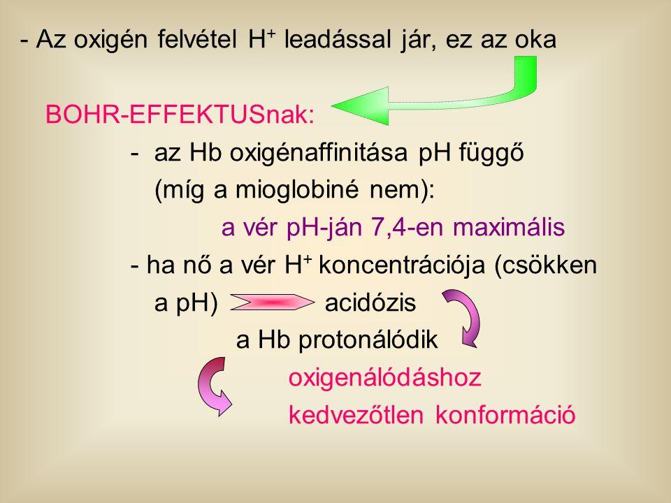 - Az oxigén felvétel H + leadással jár, ez az oka BOHR-EFFEKTUSnak: -az Hb oxigénaffinitása pH függő (míg a mioglobiné nem): a vér pH-ján 7,4-en maxim