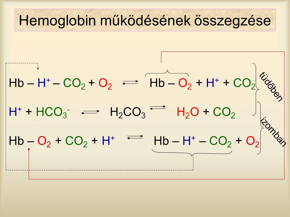 Hemoglobin működésének összegzése Hb – H + – CO 2 + O 2 Hb – O 2 + H + + CO 2 H + + HCO 3 - H 2 CO 3 H 2 O + CO 2 Hb – O 2 + CO 2 + H + Hb – H + – CO