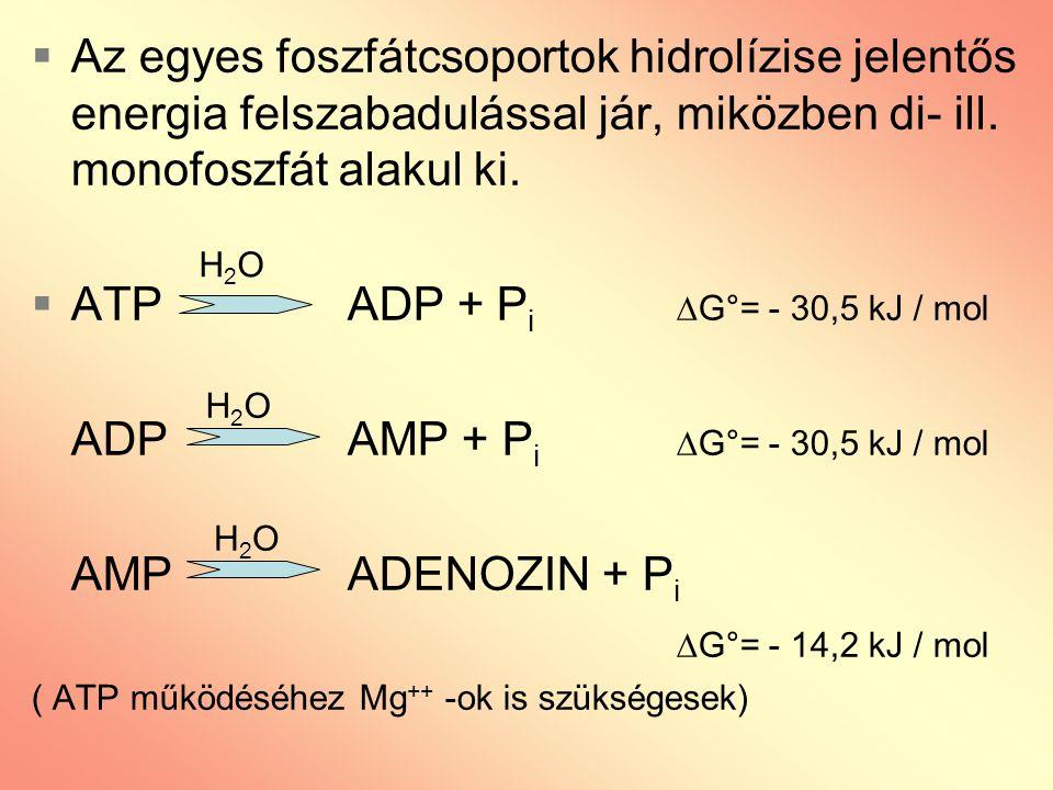  A foszfátcsoportok további lehasadása történhet: ATP + H 2 O  AMP + PP i  G°= - 30,5 kJ / mol pirofoszfát PP i + H 2 O 2 P i ATP + AMP 2 ADP a foszfátcsoport átvihető hidroxil-, vagy karboxil-csoportot tartalmazó vegyületre is ATP + XADP + X~P (X lehet pl.: glicerinsav 1,3-difoszfát ill.