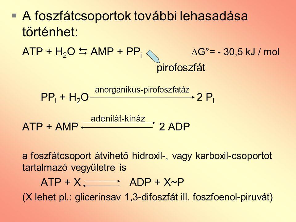  A foszfátcsoportok további lehasadása történhet: ATP + H 2 O  AMP + PP i  G°= - 30,5 kJ / mol pirofoszfát PP i + H 2 O 2 P i ATP + AMP 2 ADP a fos