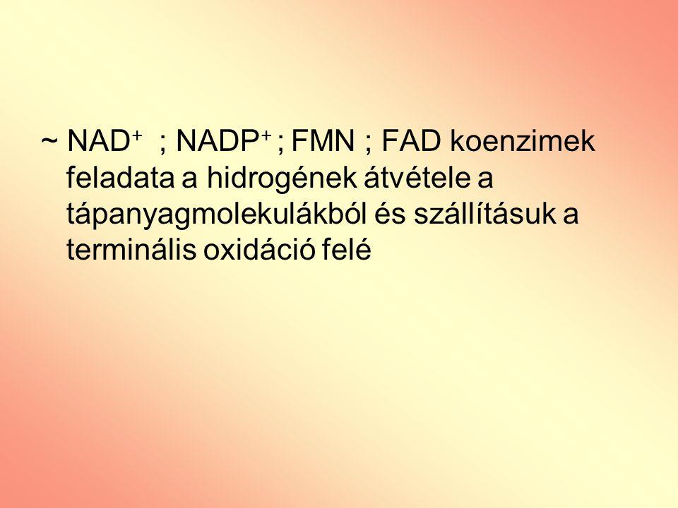 ~ NAD + ; NADP + ; FMN ; FAD koenzimek feladata a hidrogének átvétele a tápanyagmolekulákból és szállításuk a terminális oxidáció felé