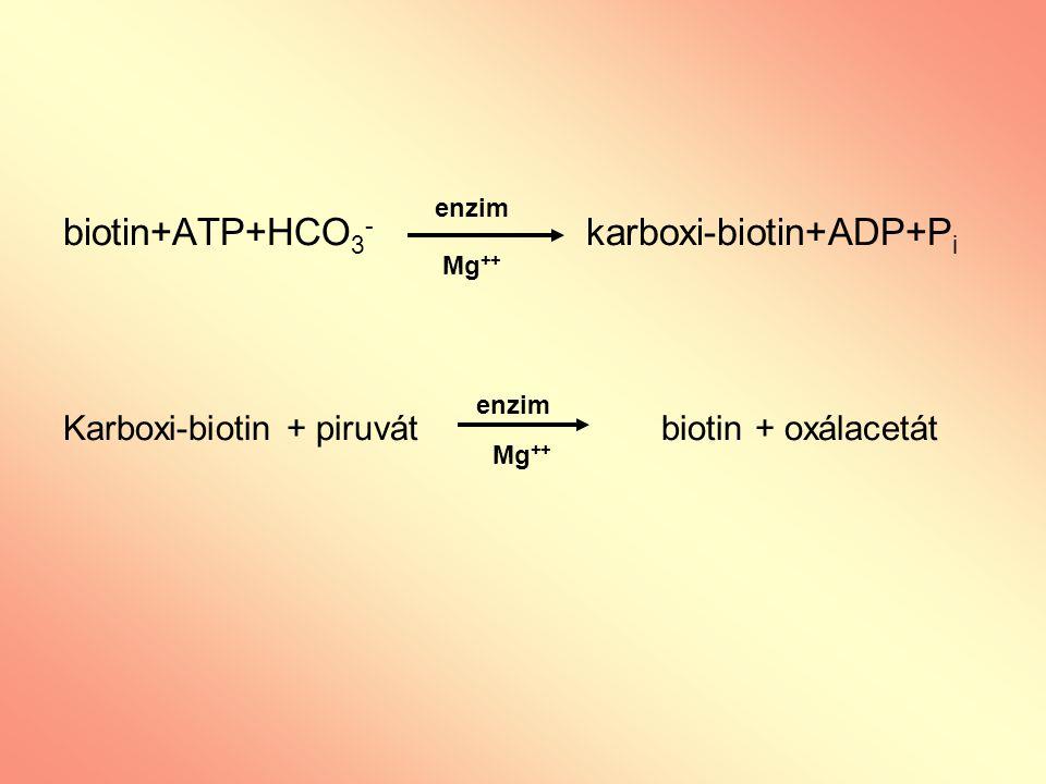 biotin+ATP+HCO 3 - karboxi-biotin+ADP+P i Karboxi-biotin + piruvát biotin + oxálacetát enzim Mg ++ enzim Mg ++