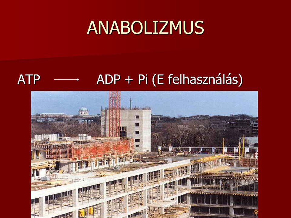 ANABOLIZMUS ATP ADP + Pi (E felhasználás)