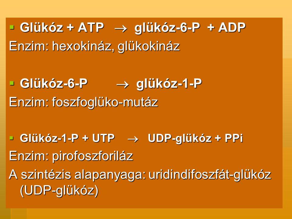  Glükóz + ATP  glükóz-6-P + ADP Enzim: hexokináz, glükokináz  Glükóz-6-P  glükóz-1-P Enzim: foszfoglüko-mutáz  Glükóz-1-P + UTP  UDP-glükóz + PPi Enzim: pirofoszforiláz A szintézis alapanyaga: uridindifoszfát-glükóz (UDP-glükóz)