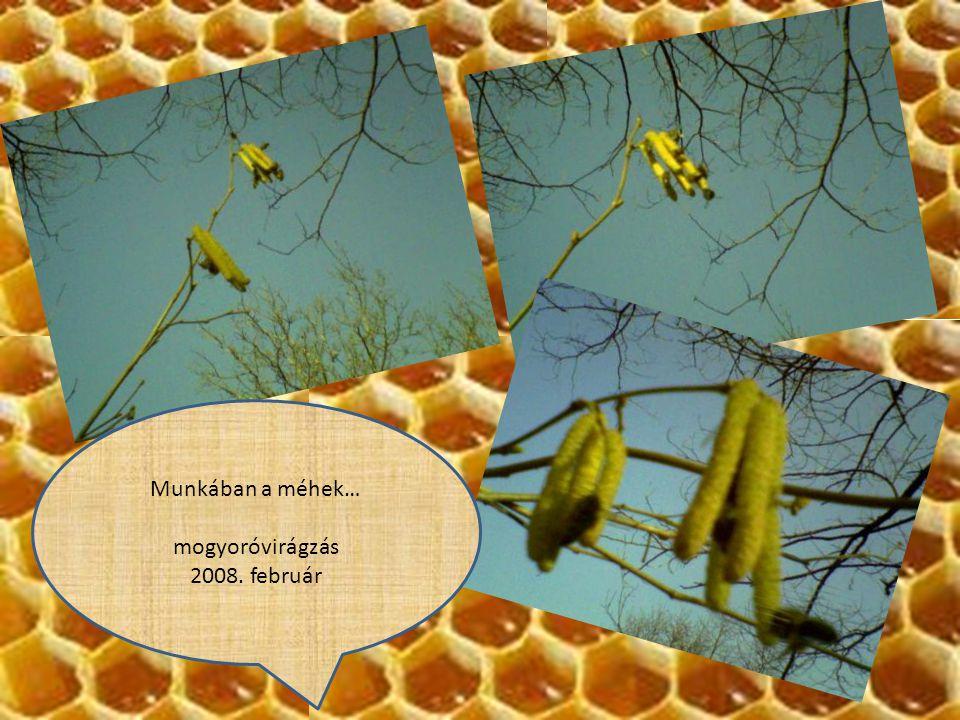 Munkában a méhek… mogyoróvirágzás 2008. február