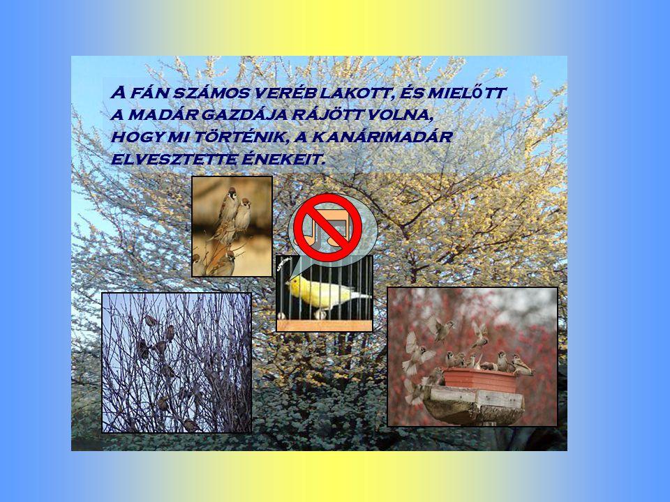 A fán számos veréb lakott, és miel ő tt a madár gazdája rájött volna, hogy mi történik, a kanárimadár elvesztette énekeit.