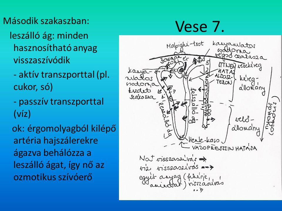 Vese 7. Második szakaszban: leszálló ág: minden hasznosítható anyag visszaszívódik - aktív transzporttal (pl. cukor, só) - passzív transzporttal (víz)