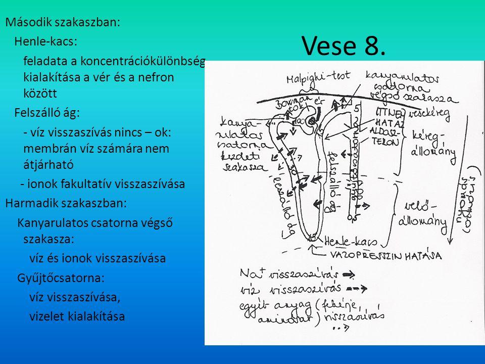 Vese 8. Második szakaszban: Henle-kacs: feladata a koncentrációkülönbség kialakítása a vér és a nefron között Felszálló ág: - víz visszaszívás nincs –