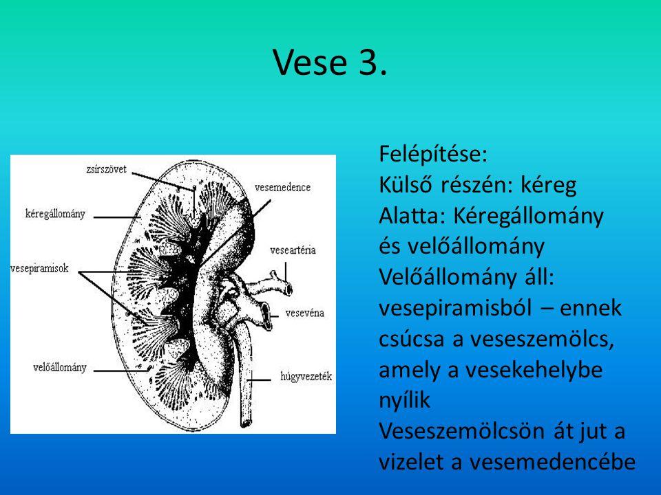 Vese 3. Felépítése: Külső részén: kéreg Alatta: Kéregállomány és velőállomány Velőállomány áll: vesepiramisból – ennek csúcsa a veseszemölcs, amely a