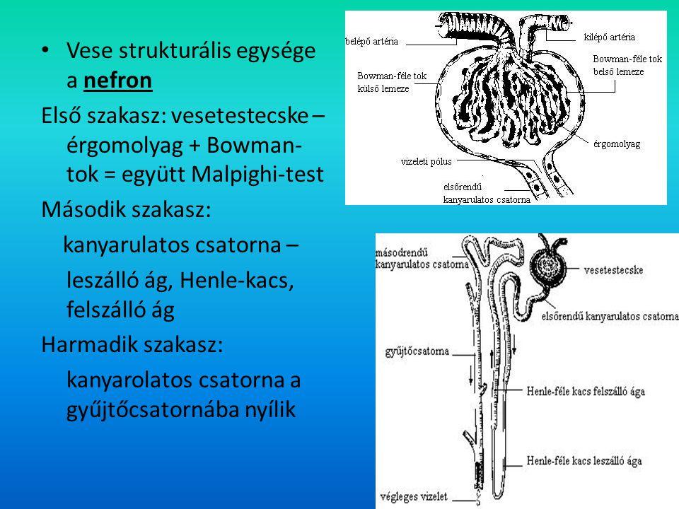 Vese 4. Vese strukturális egysége a nefron Első szakasz: vesetestecske – érgomolyag + Bowman- tok = együtt Malpighi-test Második szakasz: kanyarulatos