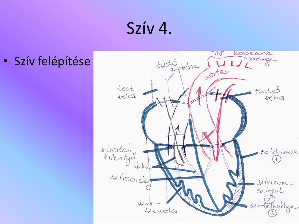 Szív 4. Szív felépítése