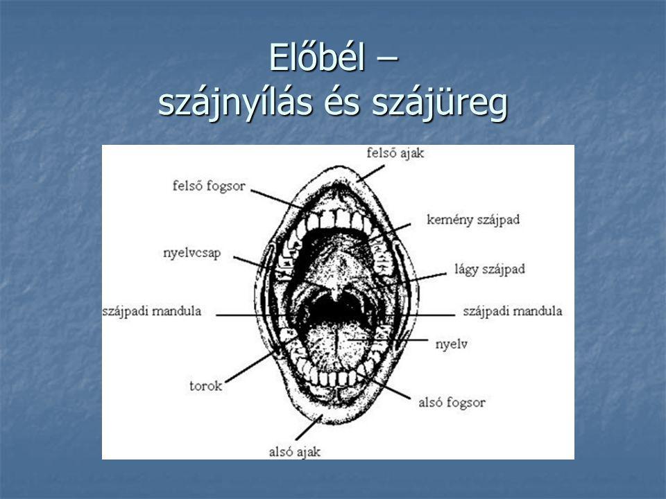 Középbél – vékonybél és jellemzői 5,5-6 m hosszú, 2-3 cm átmérőjű 5,5-6 m hosszú, 2-3 cm átmérőjű pH: 7-8 pH: 7-8 Szakaszai: patkóbél, csipőbél, éhbél Szakaszai: patkóbél, csipőbél, éhbél Felületén bélbolyhok Felületén bélbolyhok