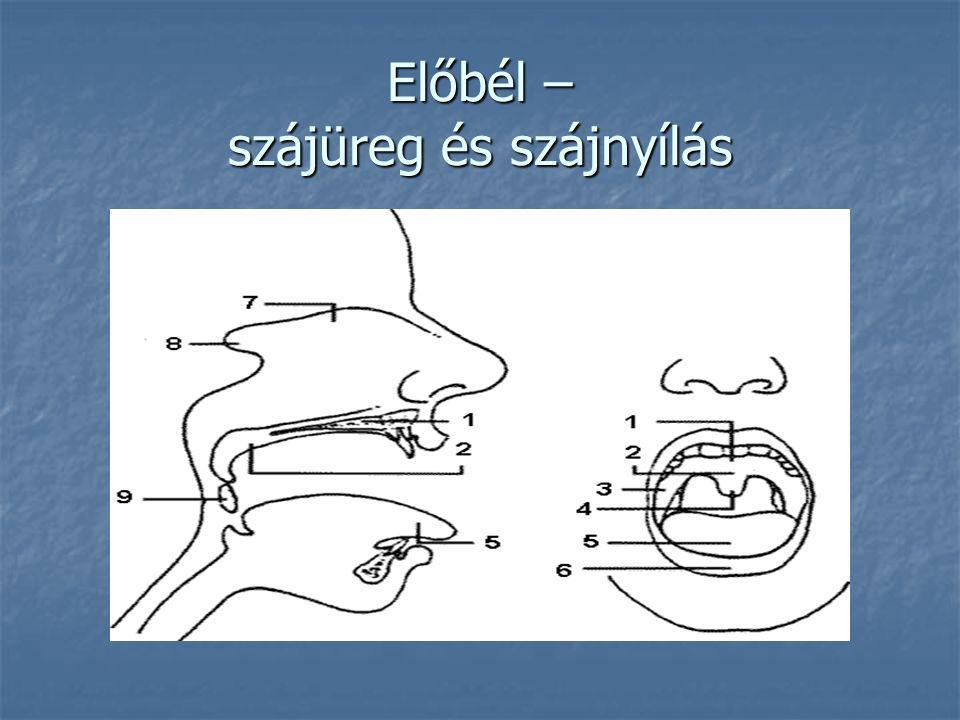 Előbél – szájüreg és szájnyílás