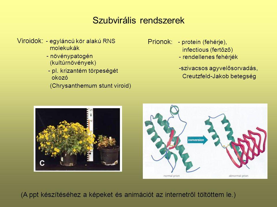 Szubvirális rendszerek Viroidok: - egyláncú kör alakú RNS molekukák - növénypatogén (kultúrnövények) - pl. krizantém törpeségét okozó (Chrysanthemum s