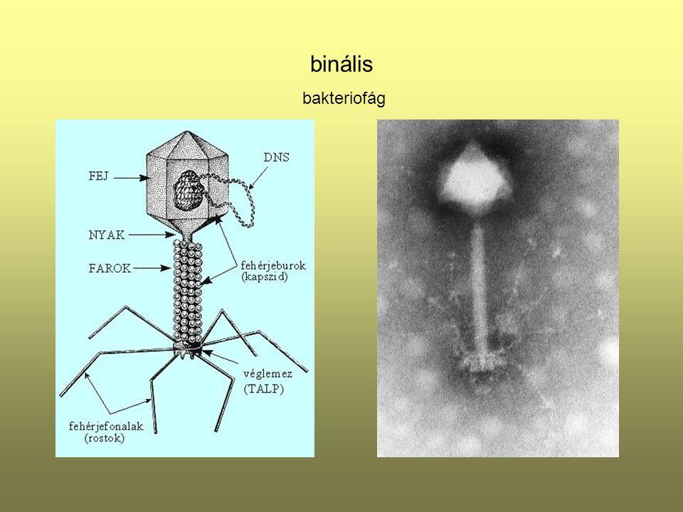 A vírusfertőzés folyamata - vegetatív vírus - virion