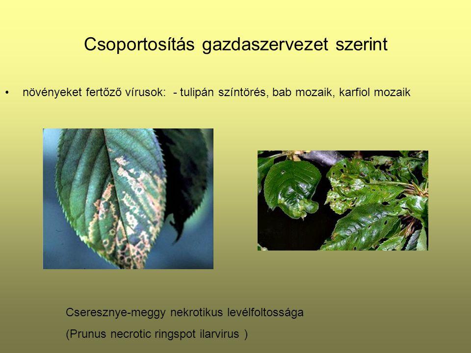 Csoportosítás gazdaszervezet szerint növényeket fertőző vírusok: - tulipán színtörés, bab mozaik, karfiol mozaik Cseresznye-meggy nekrotikus levélfolt
