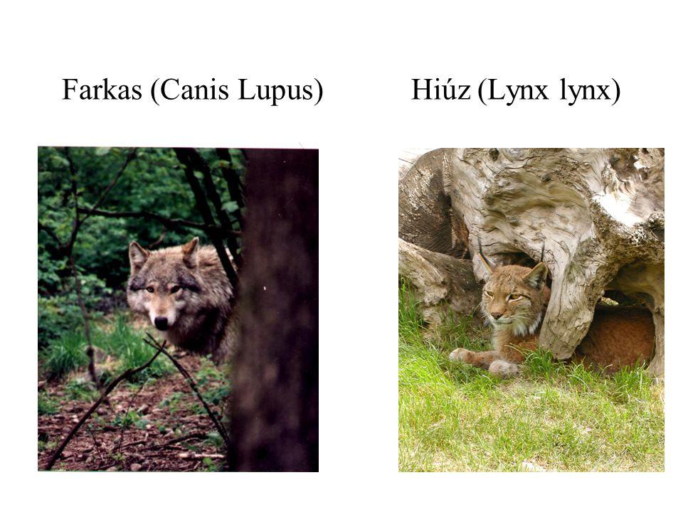 Farkas (Canis Lupus) Hiúz (Lynx lynx)