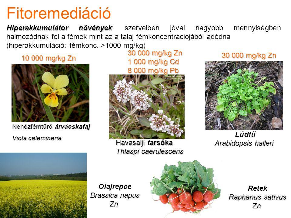Fitoremediáció Hiperakkumulátor növények Hiperakkumulátor növények: szerveiben jóval nagyobb mennyiségben halmozódnak fel a fémek mint az a talaj fémk