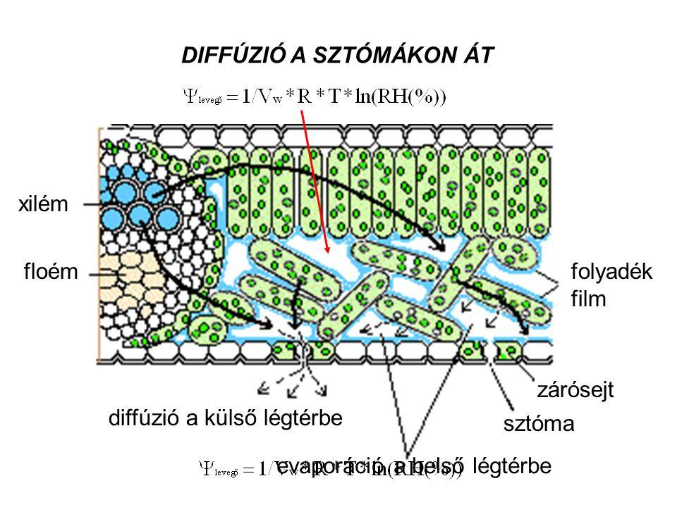xilém floémfolyadék film diffúzió a külső légtérbe evaporáció a belső légtérbe sztóma zárósejt DIFFÚZIÓ A SZTÓMÁKON ÁT