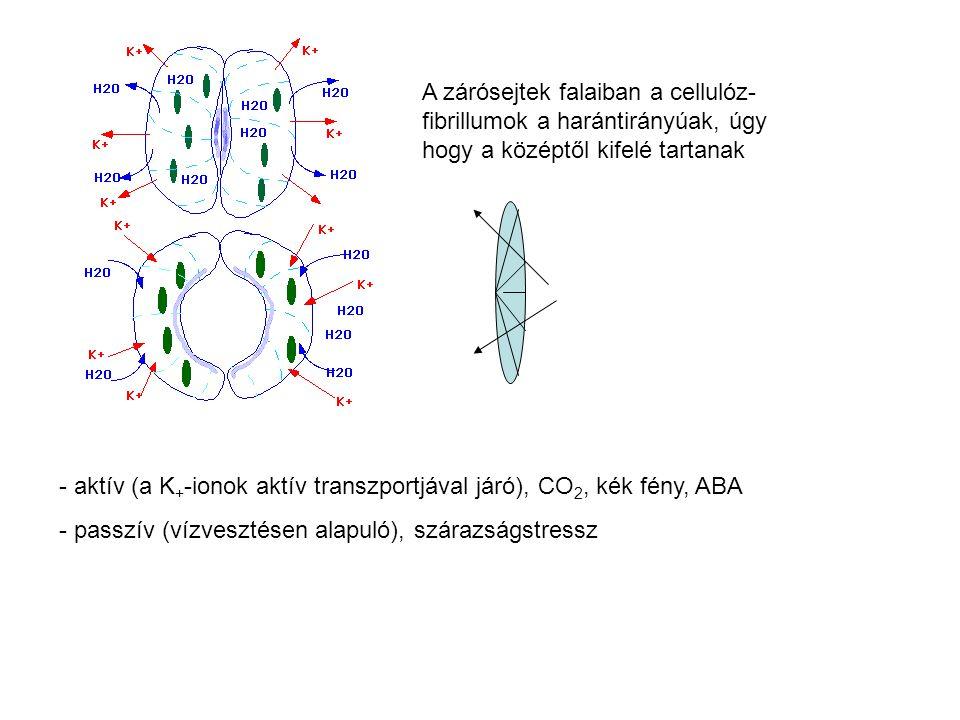 A zárósejtek falaiban a cellulóz- fibrillumok a harántirányúak, úgy hogy a középtől kifelé tartanak - aktív (a K + -ionok aktív transzportjával járó), CO 2, kék fény, ABA - passzív (vízvesztésen alapuló), szárazságstressz