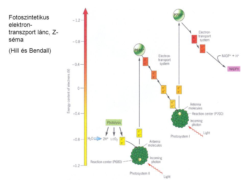 Fotoszintetikus elektron- transzport lánc, Z- séma (Hill és Bendall)