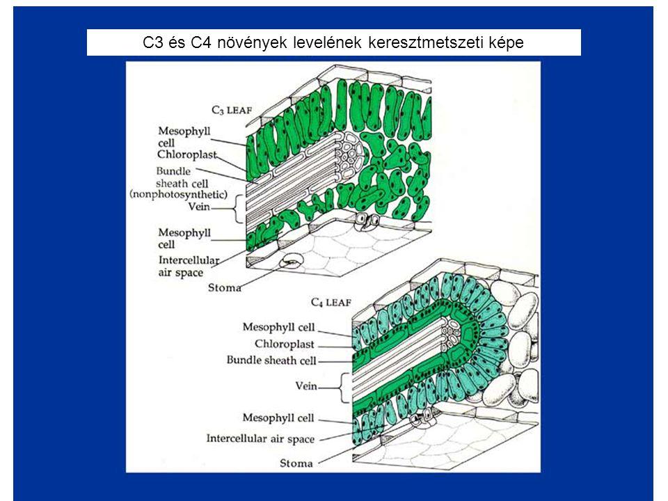 C3 és C4 növények levelének keresztmetszeti képe