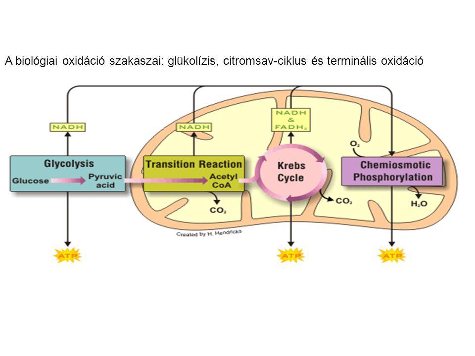 A biológiai oxidáció szakaszai: glükolízis, citromsav-ciklus és terminális oxidáció