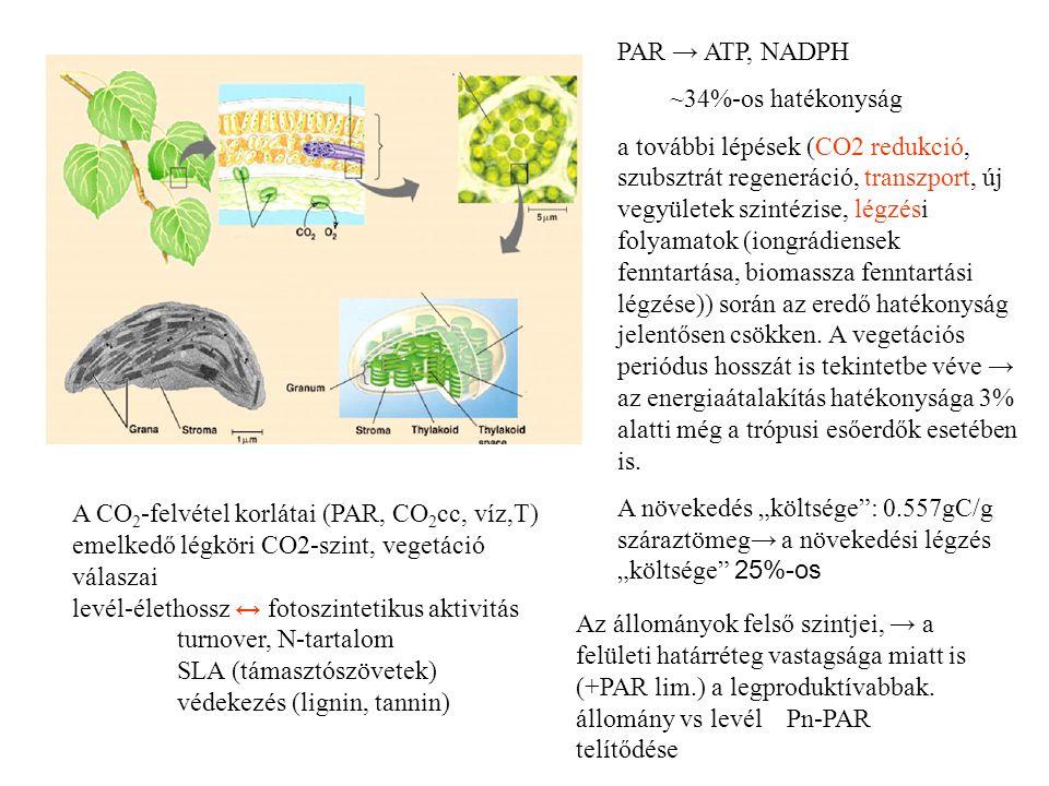 PAR → ATP, NADPH ~34%-os hatékonyság a további lépések (CO2 redukció, szubsztrát regeneráció, transzport, új vegyületek szintézise, légzési folyamatok