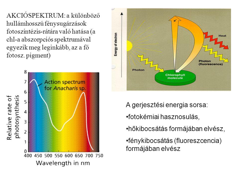 AKCIÓSPEKTRUM: a különböző hullámhosszú fénysugárzások fotoszintézis-rátára való hatása (a chl-a abszorpciós spektrumával egyezik meg leginkább, az a