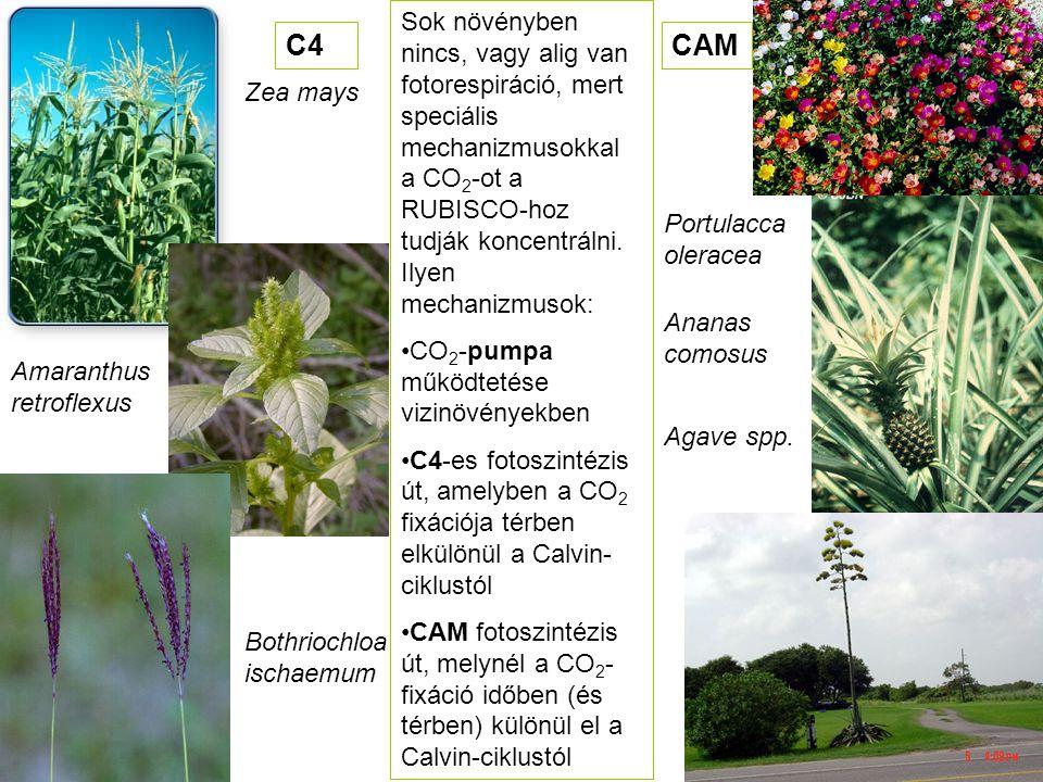 Sok növényben nincs, vagy alig van fotorespiráció, mert speciális mechanizmusokkal a CO 2 -ot a RUBISCO-hoz tudják koncentrálni. Ilyen mechanizmusok: