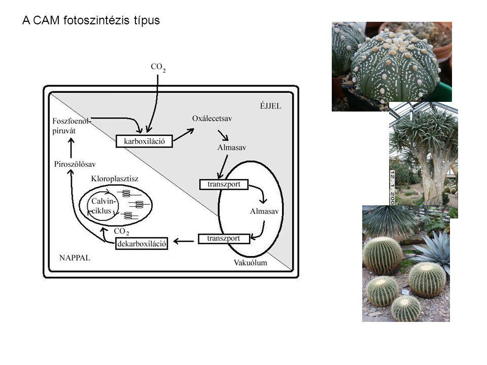 A CAM fotoszintézis típus