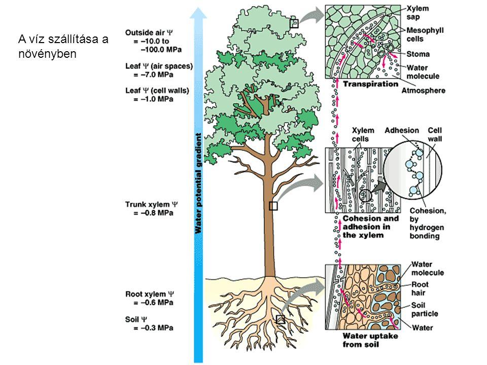 A víz szállítása a növényben