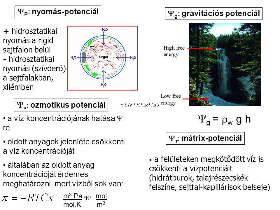 TRANSZSPIRÁCIÓS SZÍVÓERŐ A talajoldat vízpotenciáljához hasonlóan a levél vízpotenciálját is a hidrosztatikai komponens határozza meg: r: a meniszkusz sugara τ: a víz felületi feszültsége