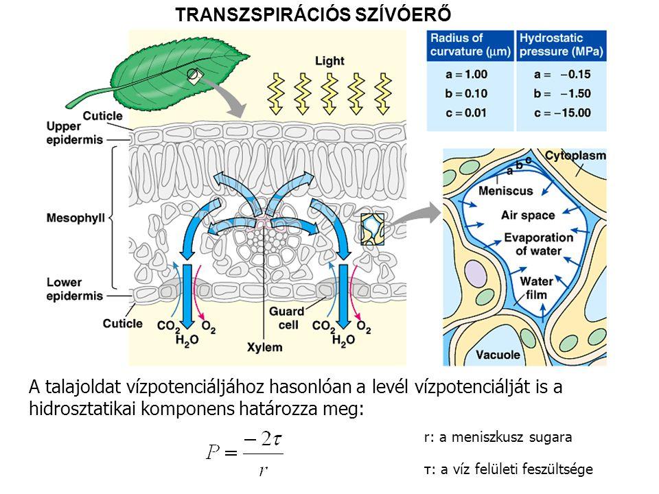 TRANSZSPIRÁCIÓS SZÍVÓERŐ A talajoldat vízpotenciáljához hasonlóan a levél vízpotenciálját is a hidrosztatikai komponens határozza meg: r: a meniszkusz