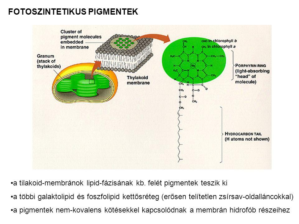 FOTOSZINTETIKUS PIGMENTEK a tilakoid-membránok lipid-fázisának kb. felét pigmentek teszik ki a többi galaktolipid és foszfolipid kettősréteg (erősen t